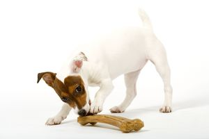 Dog - Jack Russell - playing with trainer