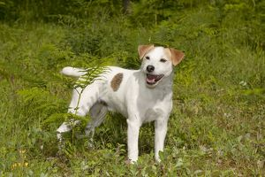 DOG - Jack Russell terrier