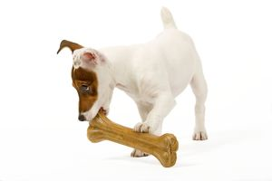 Dog - Jack Russell Terrier - With bone
