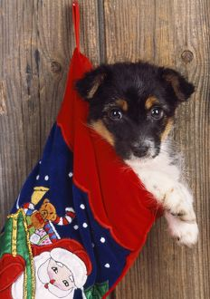 DOG - Jack Russell Terrier cross puppy in Christmas stocking