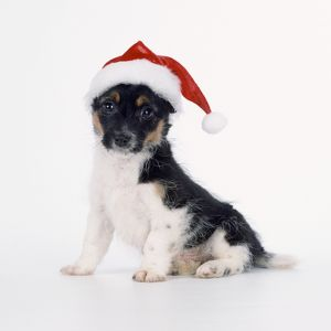 DOG - Jack Russell Terrier cross puppy wearing Christmas hat