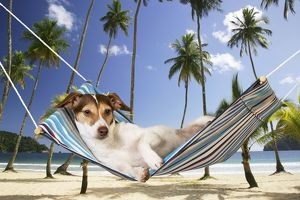 DOG - Jack russell terrier laying in hammock