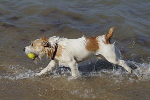 Dog - Jack Russell Terrier playing with ball in the sea