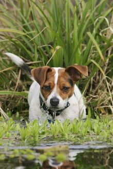 Dog - Jack Russell terrier in pond front view.