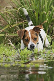 Dog - Jack Russell terrier in pond front view