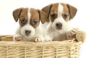 DOG - Jack Russell Terrier, two puppies in basket