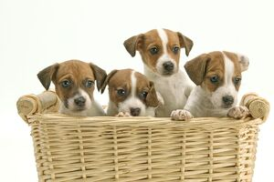 Dog - Jack Russell Terrier - four puppies in basket