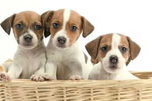 Dog - Jack Russell Terrier - three puppies in basket