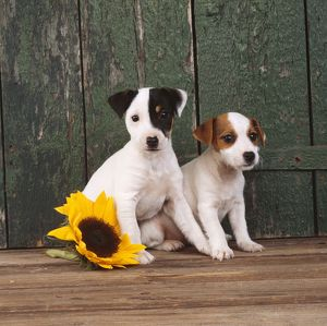 DOG - two Jack Russell Terrier puppies with sunflower