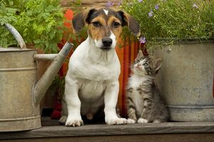 Dog - Jack Russell Terrier puppy (3 months old) with two month old kitten