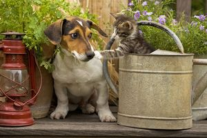 Dog - Jack Russell Terrier puppy (3 months old) with two month old kitten in watering can