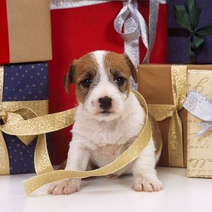 DOG - Jack Russell Terrier puppy with Christmas presents