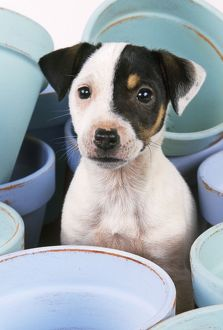 DOG - Jack Russell Terrier puppy among flowerpots