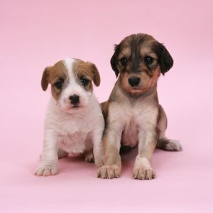 DOG - Jack Russell Terrier puppy and Saluki puppy