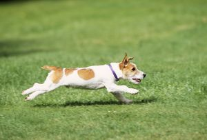 DOG - Jack Russell Terrier, running