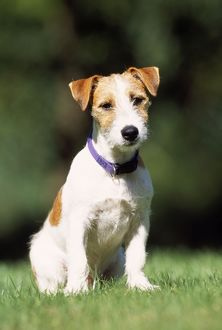 DOG - Jack Russell Terrier, sitting