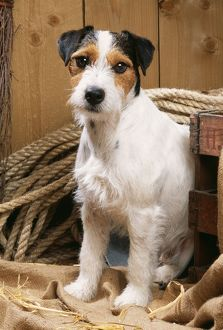 DOG - Jack Russell Terrier, sitting by rope in stable