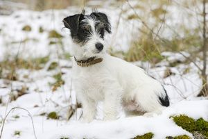 Dog - Jack Russell Terrier - sitting in snow