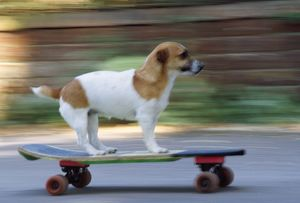DOG - Jack Russell Terrier skateboarding