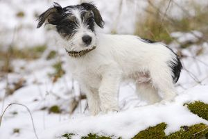 Dog - Jack Russell Terrier - standing in snow