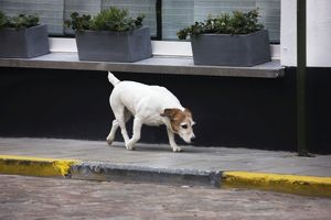 Dog - Jack Russell terrier on street