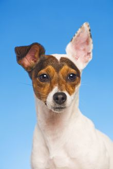 Dog - Jack Russell Terrier - in studio