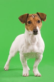 Dog - Jack Russell Terrier in studio with green background