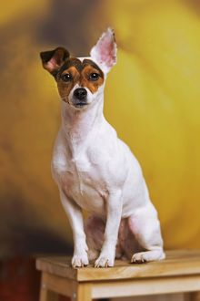 Dog - Jack Russell Terrier - in studio sitting on chair