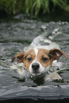 Dog - Jack Russell terrier swimming front view