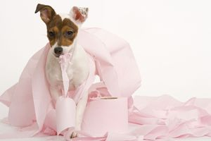 Dog - Jack Russell Terrier - With toilet roll