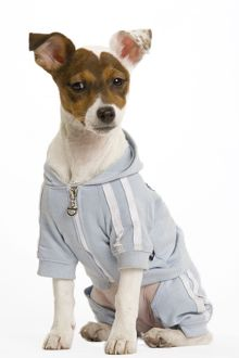 Dog - Jack Russell Terrier - Wearing clothes