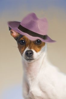 Dog - Jack Russell Terrier wearing pink hat
