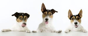Dog - Jack Russell Terriers. Three in a row