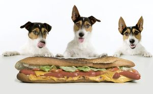 Dog - Jack Russell Terriers. Three in a row dribbling at hot-dog baguette