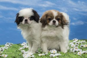 Dog - Japanese Chin puppies