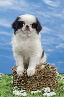 Dog - Japanese Chin puppy