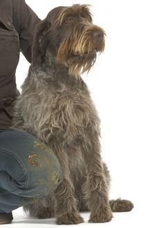 Dog - Korthals Griffon / wire-haired Pointing Griffon