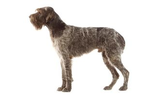 Dog - Korthals Griffon / wire-haired Pointing Griffon - in studio