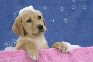 DOG. Labrador Retriever - 9 wk old puppies with soap and bubbles