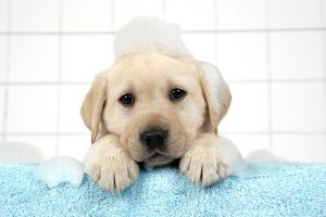 DOG. Labrador retriever puppy with in bath with soap bubbles