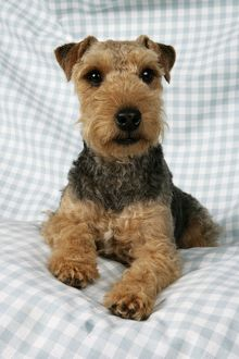 <b>Lakeland Terrier</b><br>Selection of 43 items