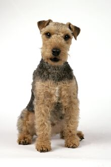 Dog - Lakeland Terrier with mouth open