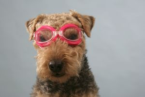 Dog - Lakeland Terrier wearing goggles