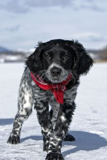 Dog - Large Munsterlander puppy standing on frozen