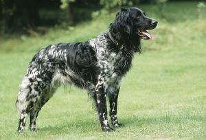 DOG - Large Munsterlander, standing on lawn. Side profile