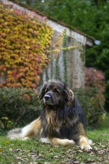 Dog - Leonberger. laying down