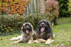 Dog - Leonberger. laying down - mouth open