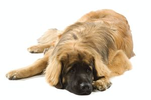 Dog - Leonberger / Leonberg - lying down