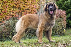 Dog - Leonberger. mouth open