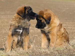 Dog - Leonberger - puppies